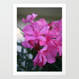 Pink Oleander Bunch Art Print