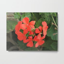 Red Geraniums Metal Print