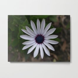 PERFECT CAPE DAISY FLOWER Metal Print