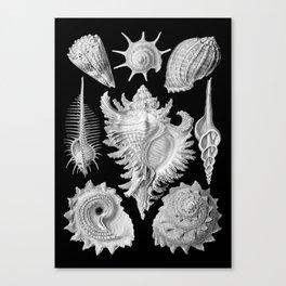 Black and White Beach Shells Canvas Print