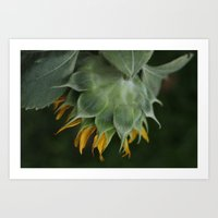 Sunflowers from my Permaculture Food Forest  Art Print