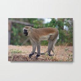 Angry Vervet Monkey in the Wilde Metal Print