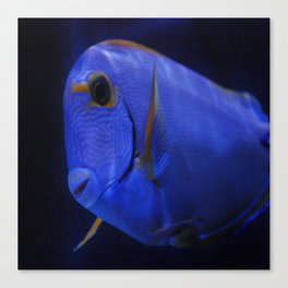 blue Tang 3 Canvas Print