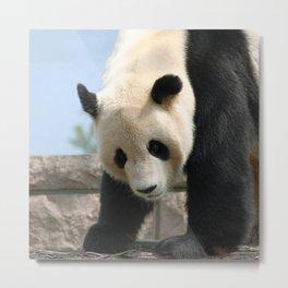 Panda20170506_by_JAMFoto Metal Print