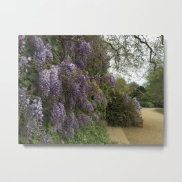 Wisteria at Kenwood Metal Print