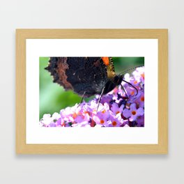 Comma butterfly on Buddleia Framed Art Print