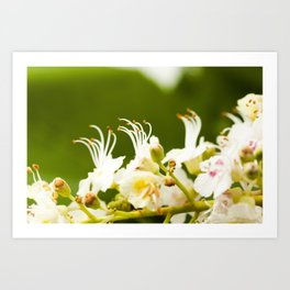 blooming chestnut . close-up Art Print