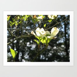 White Dogwood Art Print