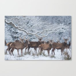 Red deers  from wintry Killarney National Park Canvas Print