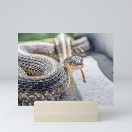 Garter snake with its tongue out Mini Art Print