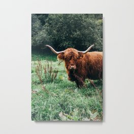 Scottish Highland Cattle Metal Print