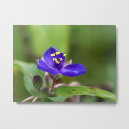 Dayflower (Commelina sp.) Metal Print