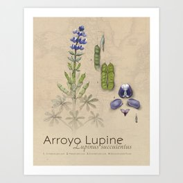Arroyo Lupine Art Print