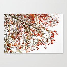Red rowan fruits or ash berries Canvas Print