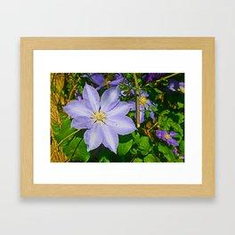Violet Clamatis Framed Art Print