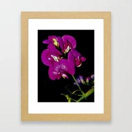 Flower Power III (Lathyrus) Framed Art Print