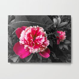 Paeony pink black and white Metal Print