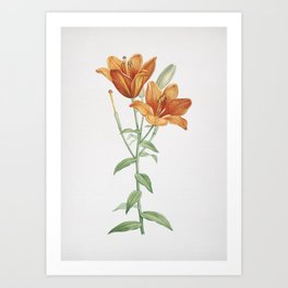 Vintage Orange Bulbous Lily Illustration Art Print