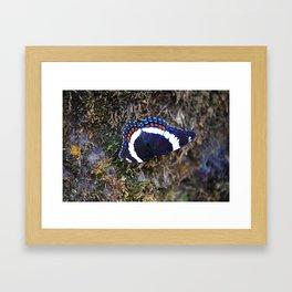 White Admiral Butterfly Framed Art Print