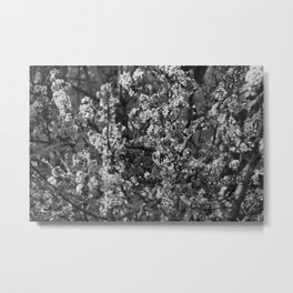 Black And White Pear Tree Blooming Metal Print
