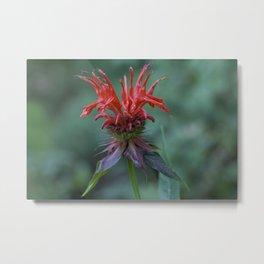 Scarlet Bee Balm {Monarda didyma L.} Metal Print