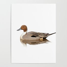 Reflections of a Northern Pintail Duck Poster