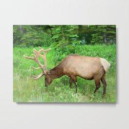 Elk Grazing  Metal Print