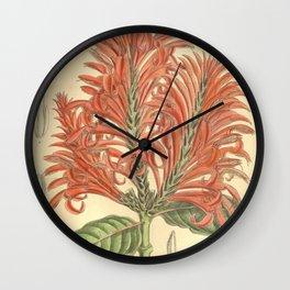 Aphelandra tetragona, Acanthaceae Wall Clock