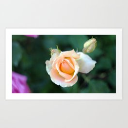 Roses on the city flowerbed. Art Print
