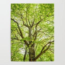 Beech Tree Poster