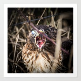 A Red-Tailed Hawk Eating a Rodent With Blinking Blue and Brown Eyes Art Print