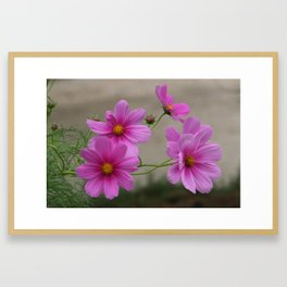 Pink Cosmo Daisies Framed Art Print