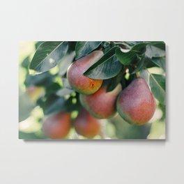 Ripe juicy pears on a branch Metal Print