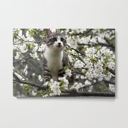 Japanese cat is admiring the cherry blossoms. Metal Print