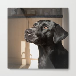 Black Labrador   Metal Print