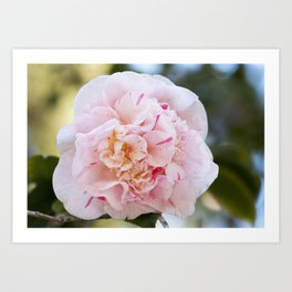 Strawberry Blonde Camellia Up Close Art Print