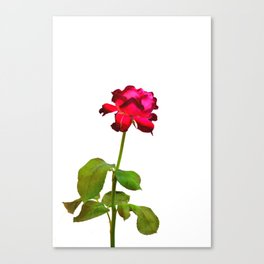 Single Magenta Red Rose Isolated Canvas Print