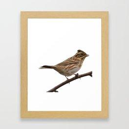 Rustic Bunting Bird Vector Isolated Framed Art Print