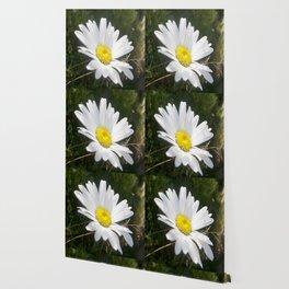 Close Up of a Margarite Daisy Flower Wallpaper