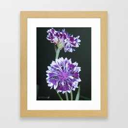 Bachelor Button from the Frosted Queen Mix Framed Art Print
