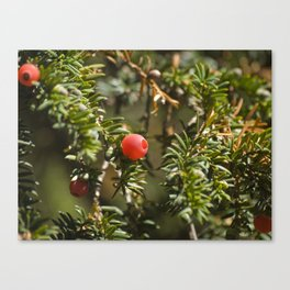 Yew berries Canvas Print