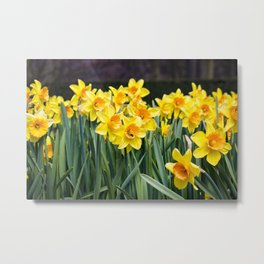 Field of Cheerful Yellow Daffodil Flowers with a Bee in One of Them in Amsterdam, Netherlands Metal Print