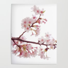Cherry Blossom Flowers Poster