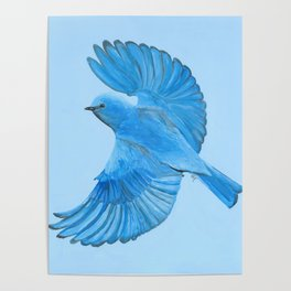 Mountain Bluebird in Flight Poster
