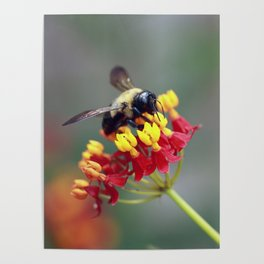Bee on Milkweed Poster