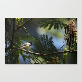 Roosting Black Capped Chickadee Canvas Print