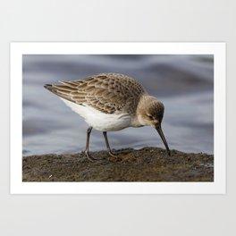 Dunlin Shorebird Art Print