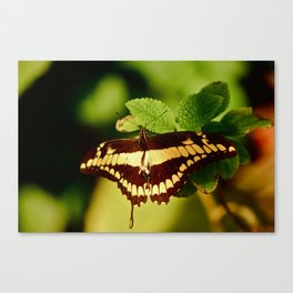 Peppered Mint Canvas Print
