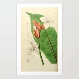 Flower 047 erythrochiton brasiliensis Brasilian Red coat27 Art Print