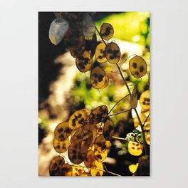 Money Plant in the Sunset Canvas Print